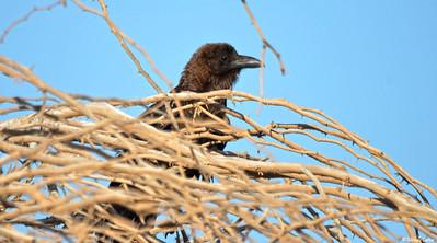 Brown-necked Raven